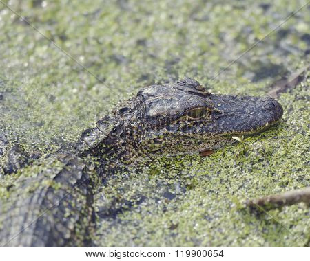 Young American Alligator in Florida Wetlands