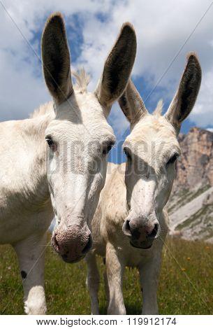 Donkey Equus Africanus Asinus