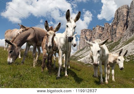 Group Of Donkey - Equus Africanus Asinus