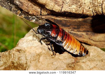 Madagascar hissing cockroach (Gromphadorhina portentosa)  on a stick in natural environment