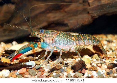Colorful Australian Blue Crayfish - Cherax Quadricarinatus In Aquarium