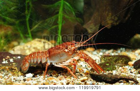 Narrow-clawed Crayfish Astacus Leptodactylus In Natural Environment
