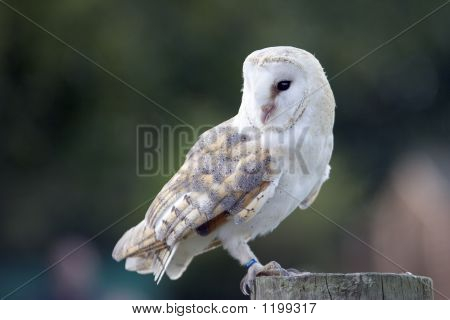 barn owl sitting on a wooden post poster