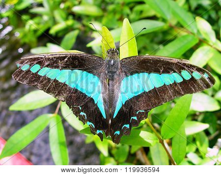 Large Tropical Butterfly Graphium Sarpedon Closeup.
