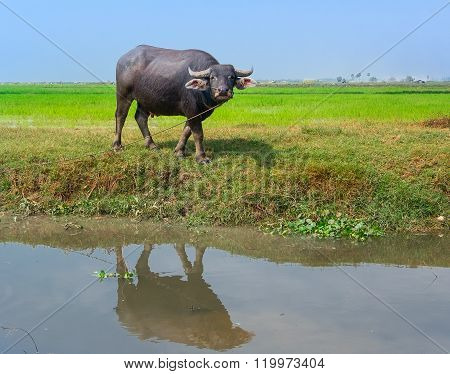 Agricultural water Buffalo in a rice field