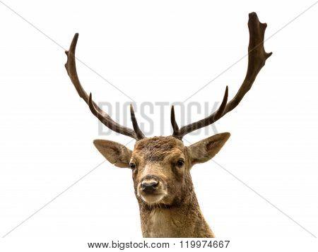 Head Of Fallow Deer