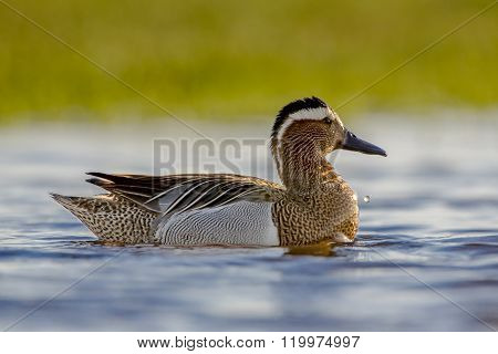 Alert Male Garganey Duck