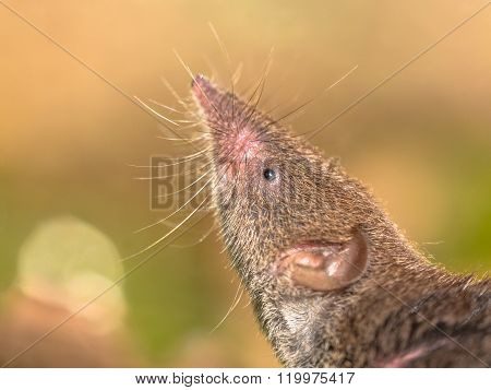 Crocidura Shrew Pointing Nose In The Air