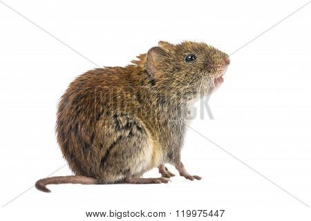 Sideview Of Wild Bank Vole