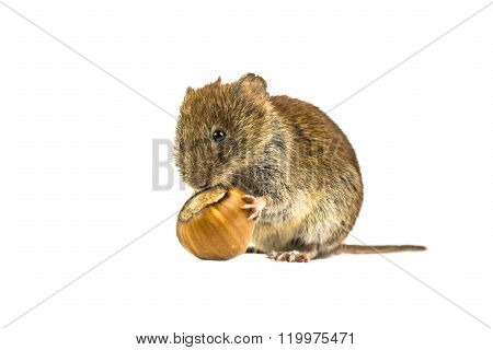 Wild Bank vole mouse (Myodes glareolus) sitting on hind legs and eating from hazelnut on white background poster