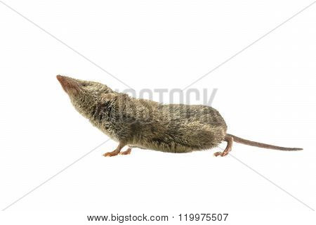 Shrew Pointing Nose In The Air