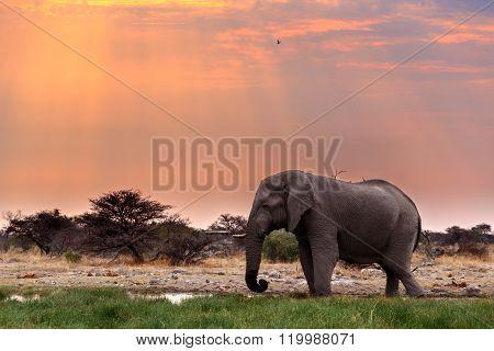 Big African Elephants In Etosha