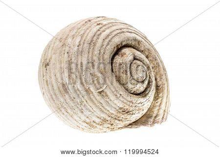 Helmet Sea Shell - Tonna Galea Or Tun Shell. Empty House Of A Sea Snail.