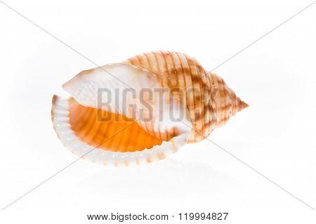 Helmet Sea Shell - Galeodea Echinophora. Empty House Of Sea Snail