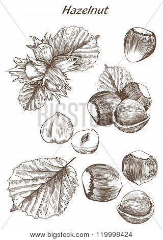 hazelnut set of sketches