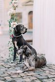 Two purebred hunds sitting near wedding decorations in the lviv city center. poster