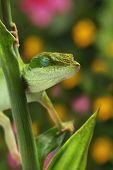 Anole lizard sleeping in garden poster
