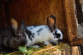 Many young bunnies in a shed. A group of small rabbits feed in barn yard. Easter symbol . poster