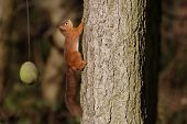 red squirrel running up a tree northumberland poster