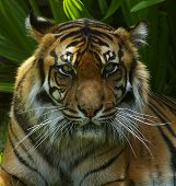a sumatran tigress watching the camera getting ready to approach. poster