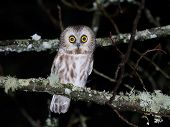 A Northern Saw-whet Owl perched on a branch at night poster
