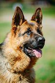Black German Shepherd Dog or Alsatian Wolf Dog. Close Up Portrait On Green Grass Background poster