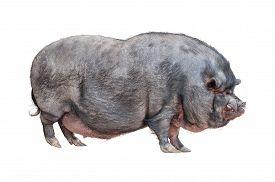 Vietnamese Pot-bellied Pig Cutout
