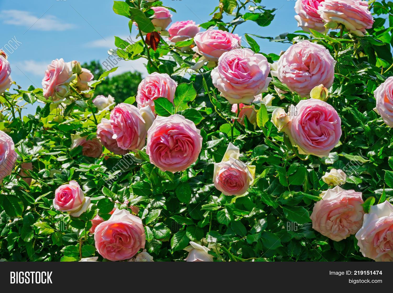 Hybrid tea roses image photo free trial bigstock hybrid tea roses in spring beautiful blooming flowers in garden izmirmasajfo