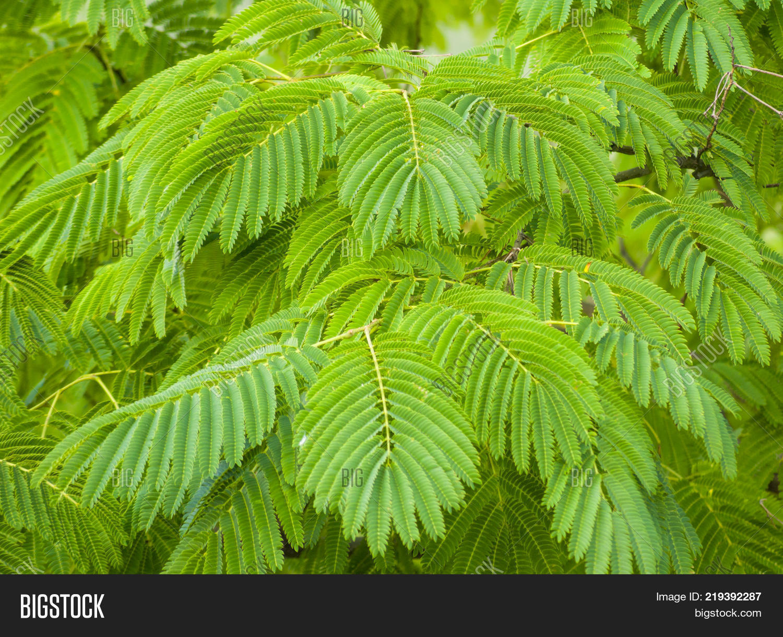 Albizia Julibrissin Image Photo Free Trial Bigstock