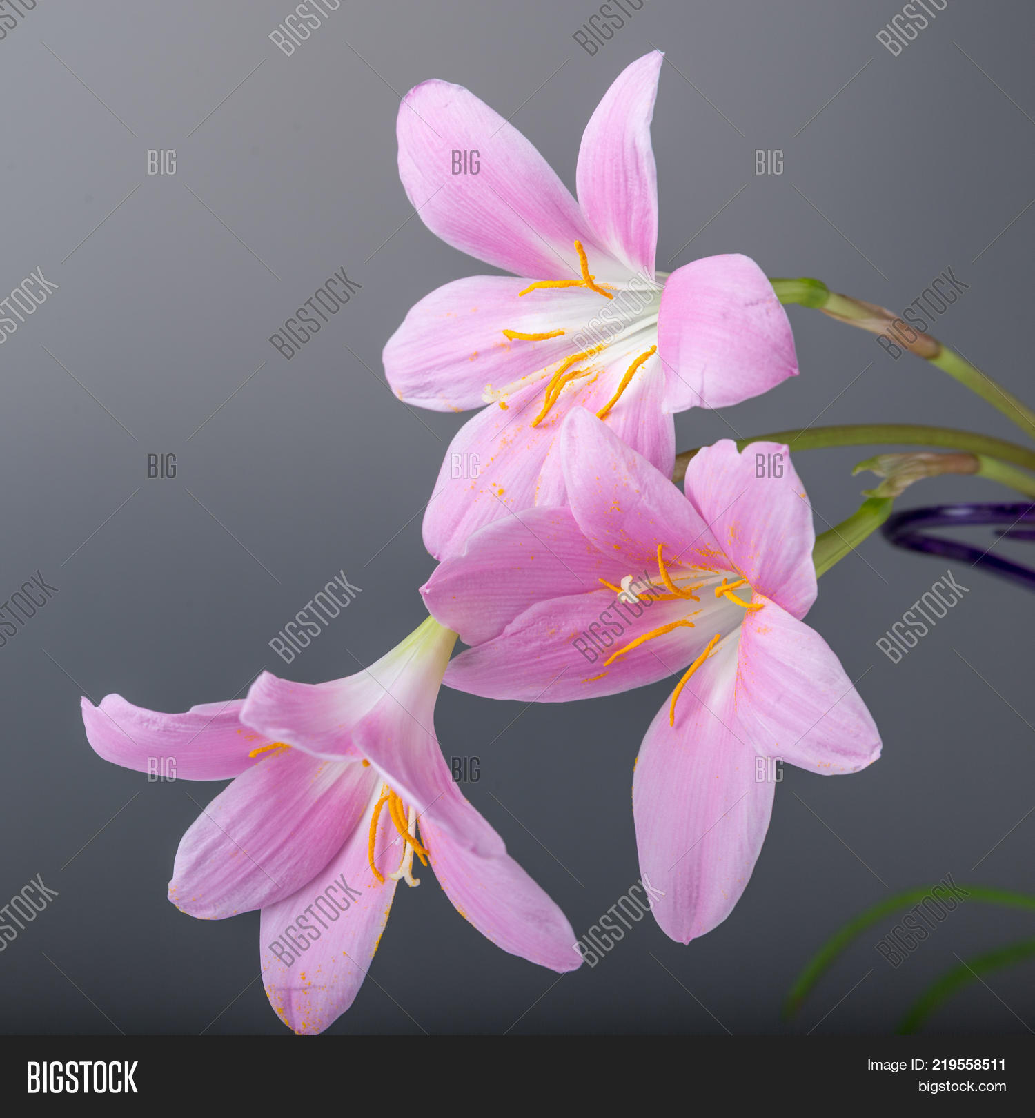 Rosepink Zephyr Lily Image Photo Free Trial Bigstock