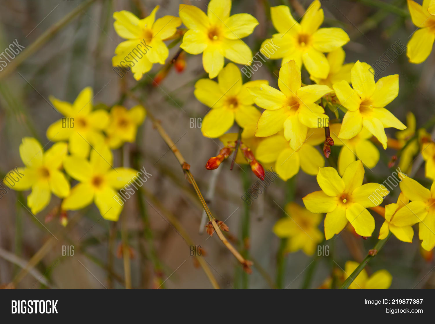 Winter jasmine image photo free trial bigstock winter jasmine or jasminum nudiflorum deciduous shrub blooming with yellow flowers in early spring izmirmasajfo