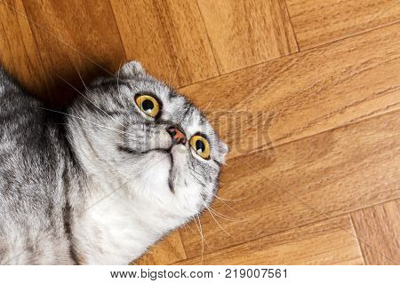 Surprised Cat lying on the floor close up. British cat lying on the floor with copy space.