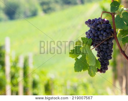 Grapes in the Langhe Piedmont vineyards in autumn