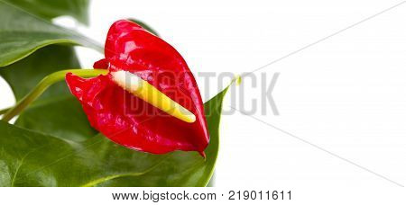 Red Calla heart shape on white background. Anthurium tropical plant of arum araceae group of plants.