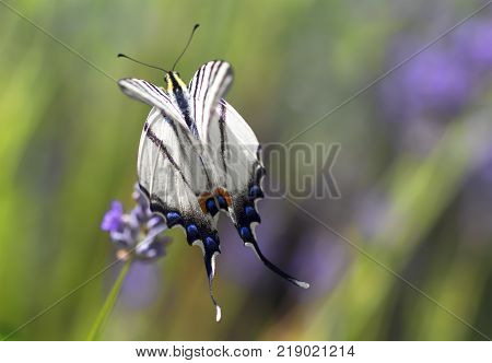 Swallowtail Butterfly on a meadow flaps its wings.