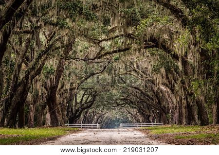 Dirt Road Through Live Oak Tree Tunnel with thick Spanish Moss