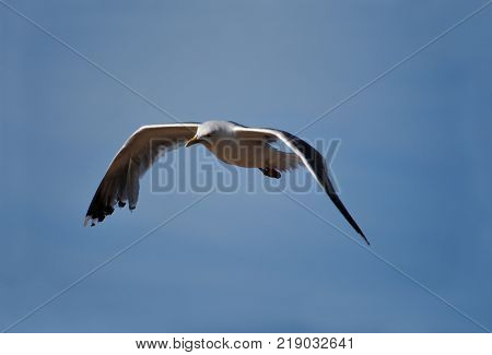 Fly seagull. Seagull and sea. Seagull flying over the sea. White seagull soaring in the blue sky.