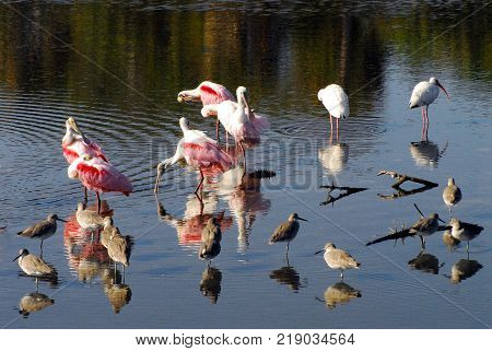 A beautiful image of various tropical birds feeding together in the Florida Everglades National Park, USA.  Note the reflections on a sunny day.