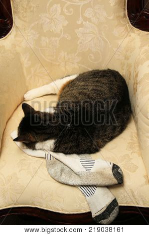Older female cat comfortably sleeping on her favorite chair while resting her head on her owners dirty, sweaty, socks.