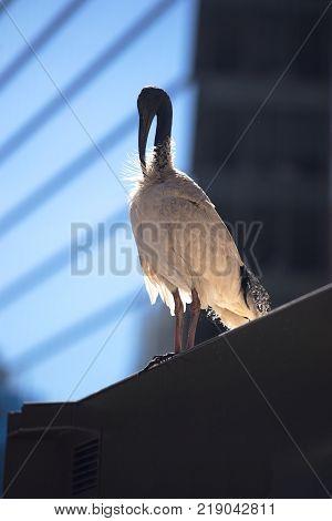 Urbanise White Ibis in the Sydney