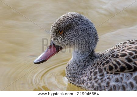Cape teal (Anas capensis) dabbling duck in close up.