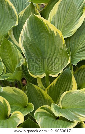 Large Hosta Leaves with pale yellow edge
