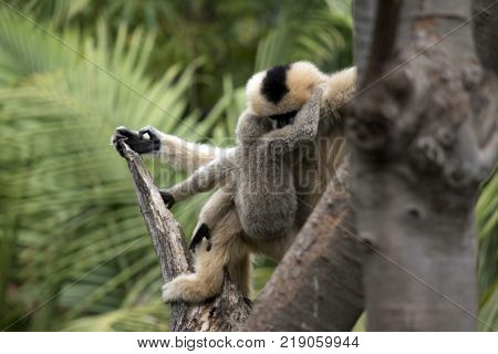 the mother white faced gibbon is grooming her son