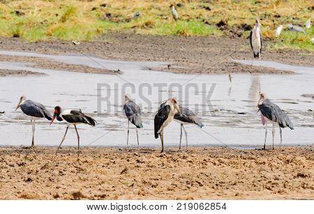 Marabou stork (leptoptilos cremeniferus) and a Saddle-billed stork at a waterhole  in Tarangire NationalPark