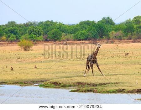 Thornicroft Giraffe standing on the open Plains in South Luangwa National Park Zambia