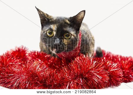 Cute cat celebrating in white background and red acessories.