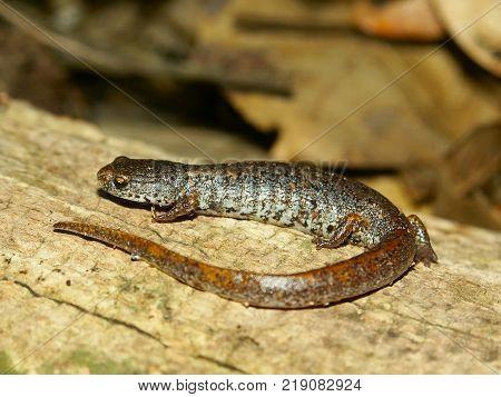 Four-toed Salamander (Hemidactylium scutatum) in Illinois forest