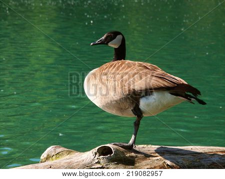 Canada Goose (Branta canadensis) sits on a log at Spencer Conservation Area in Illinois