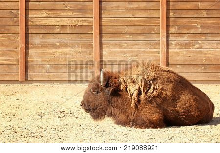 Big bison in zoological garden poster