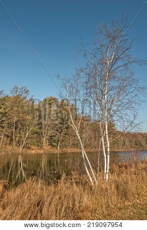 White-barked birch trees on each side of the creek in sunlight